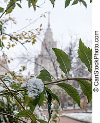 Green leaves on a bush powdered with the first snow on a cloudy day. Against a blurred background, a majestic building.