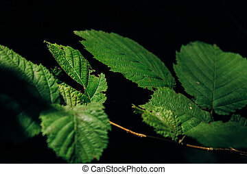 Green leaves on a dark background