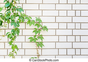 Green leaves on a white brick wall - Green foliage of...