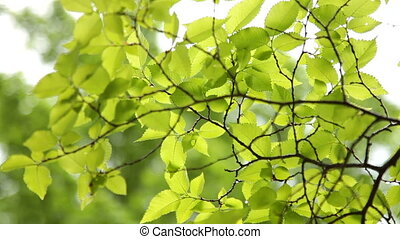 Green Leaves On Branches
