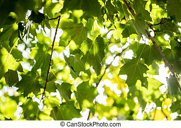 Green leaves on maple tree on sky background