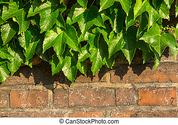 Green leaves on old brick wall.