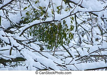 green leaves on the gray branches of a tree under white snow