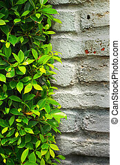 Green leaves on the wall.