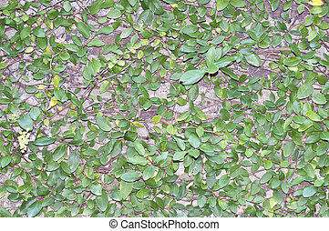 Green Leaves on Wall Background