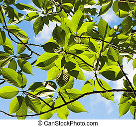 Green leaves over blue sky. Natural background