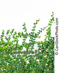 Green leaves plant on wall isolated on white