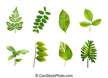 green leaves set isolated over white background.