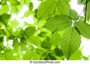 green  leaves - green foliage background in sunny day