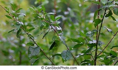 green leaves under rain