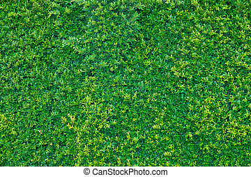 Green leaves wall background, plant on the wall