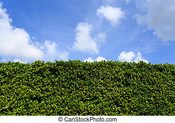 Green leaves wall background with clear sky