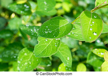 Green leaves with drops of water after the rain. Dew on leaves