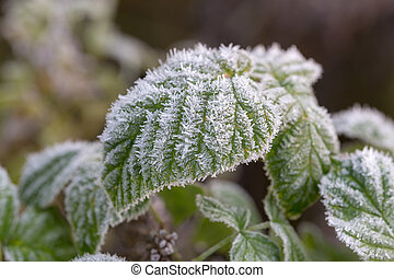 green leaves with hoarfrost