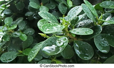 Green leaves with rain drops. Wet plant after tropical...
