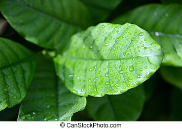 Green leaves with raindrops close-up in a tropical garden