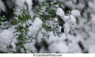 Green leaves with snow