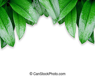 green leaves with water drops isolated on white background
