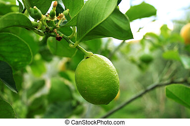 This is a photo of a lemon tree with green lemon