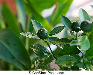 Green lemons and leaf