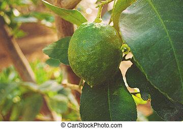 green lemons on a tree in a garden