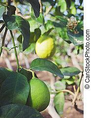 green lemons on a tree in garden