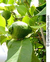 Green lemons on tree branches