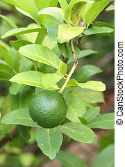 Green lemons on tree