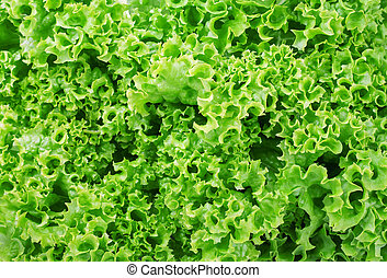 green lettuce background