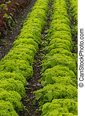 Green lettuce field