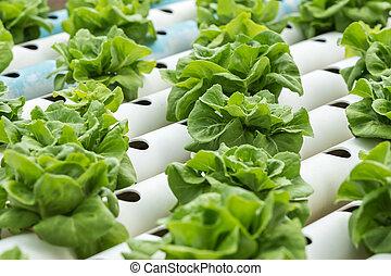 Green lettuce in organic farm