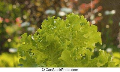 Green lettuce in water spray