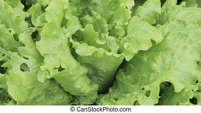 Green lettuce leaves in the garden
