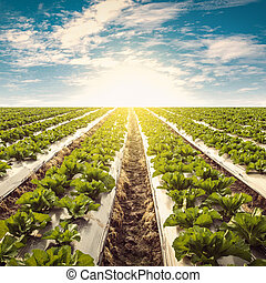 Green lettuce on field agriculture and blue sky with vintage...