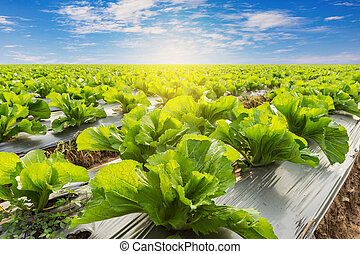 Green lettuce on field agricuture with blue sky