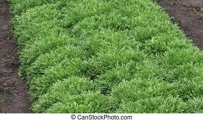 Green lettuce plants in a row, Lactuca sativa var. foliosa +...