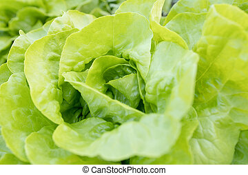 Green lettuce plants in growth at field.