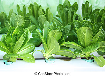 Green lettuce salad in hydroponic farm - Green leaves of...