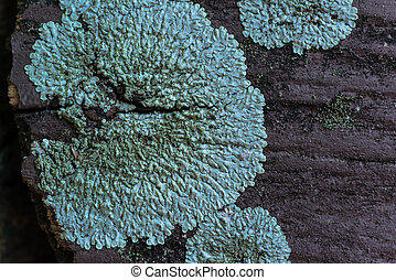 Green lichens on the wood