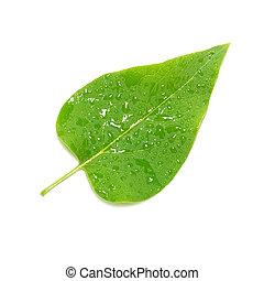 Green lilac leaf