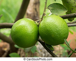 Green lime on a branch.