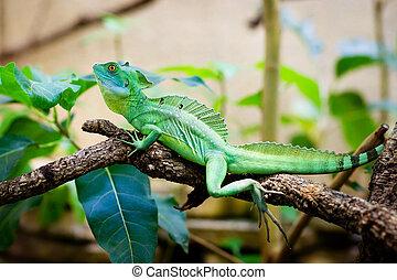 Green lizard basiliscus sitting on a branch