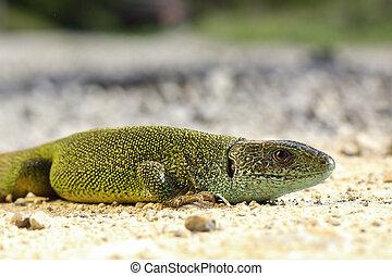 green lizard basking on the ground