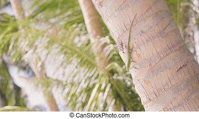 Green lizard crawling on trunk palm tree in tropical island....