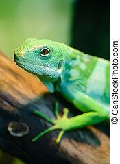 Green lizard, Fiji banded iguana