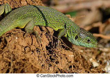 Green lizard (Lacerta bilineata) basking in the first rays...