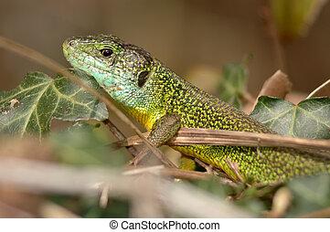 Green lizard (Lacerta bilineata) resting in the vegetation