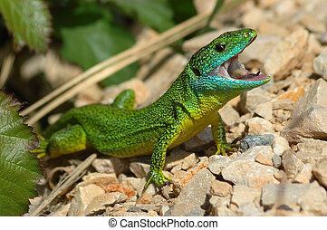 Green lizard (Lacerta bilineata) in a threatening