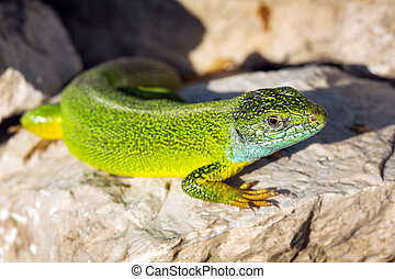 Green lizard - Lacerta viridis