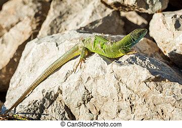 Green lizard - Lacerta viridis sheds its skin